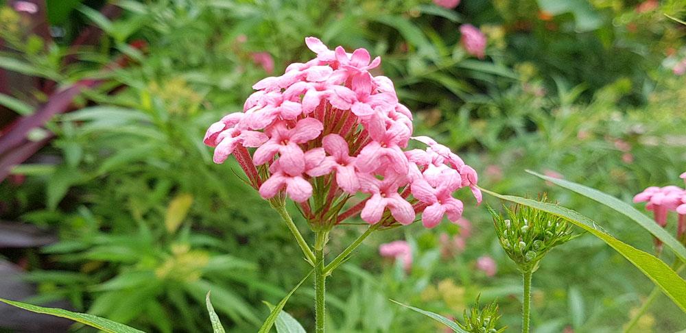ดอกของต้นชมพูนุช