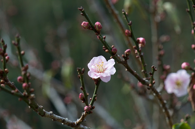 When to watch the most beautiful peach flower in Ha Giang ?