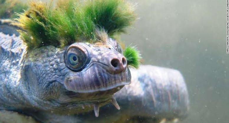 Tartaruga Punk, le immagini dell'animale con la cresta verde in via d'estinzione