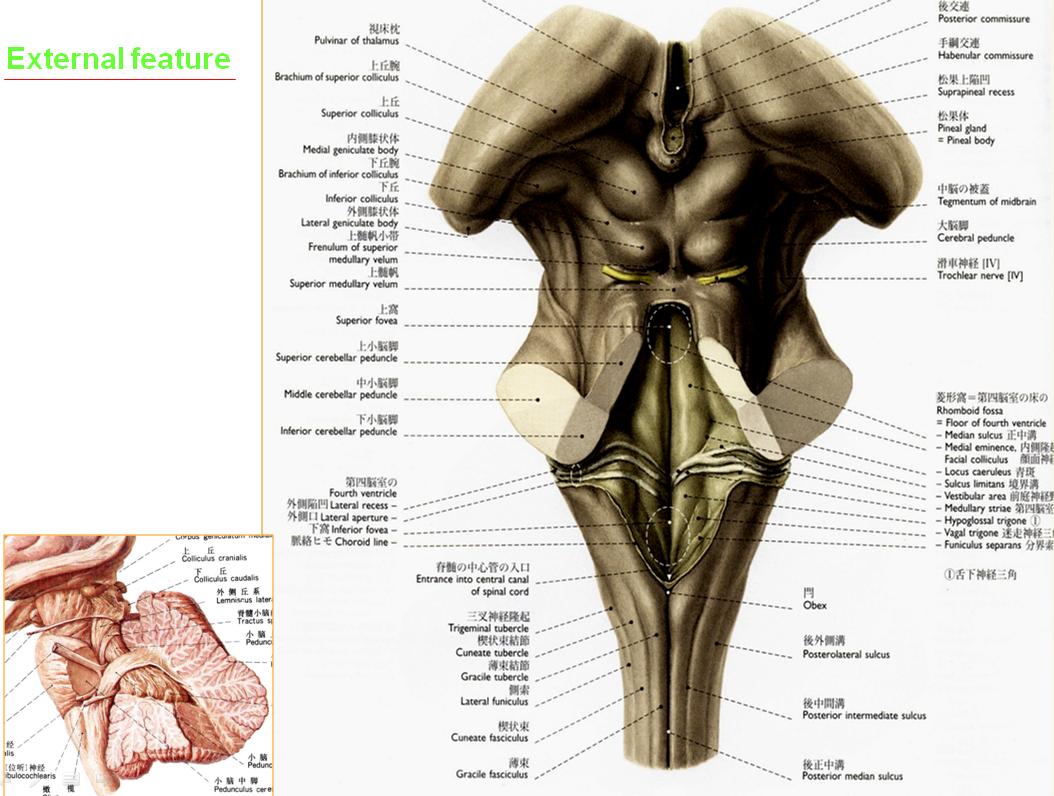 MBBS Medicine (Humanity First): Anatomy of the Brain Stem