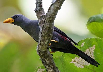Memilih Dan Merawat Burung Jalak Rio