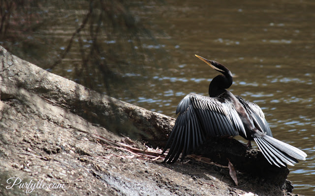 Australian darter drying it's wings on the river bank.