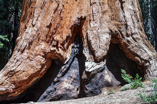 Large tree root at Sequoia National Park California