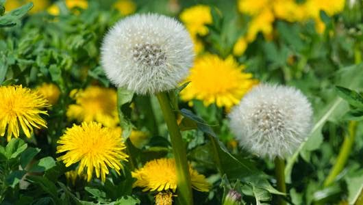 dandelion skin care