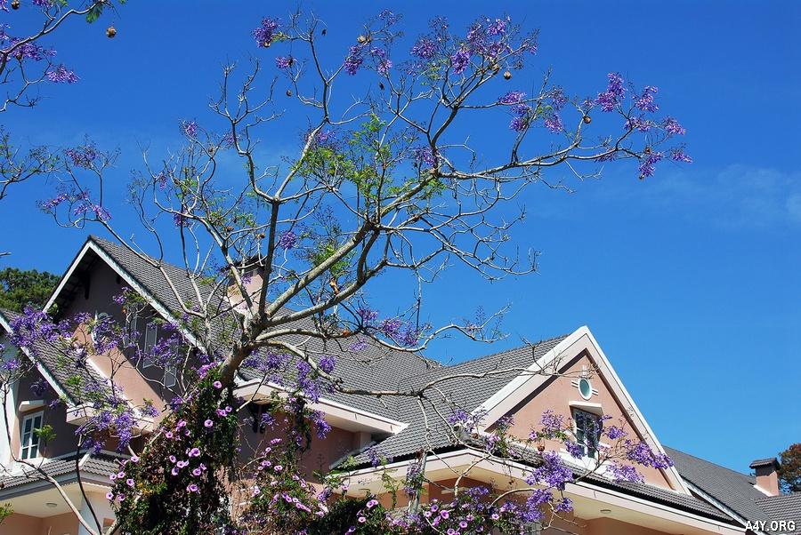 hoa phượng tím bên ngôi nhà đẹp