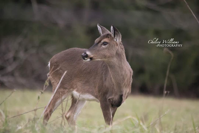 deer, smokey mountains, tennessee, wedding shots, wildlife