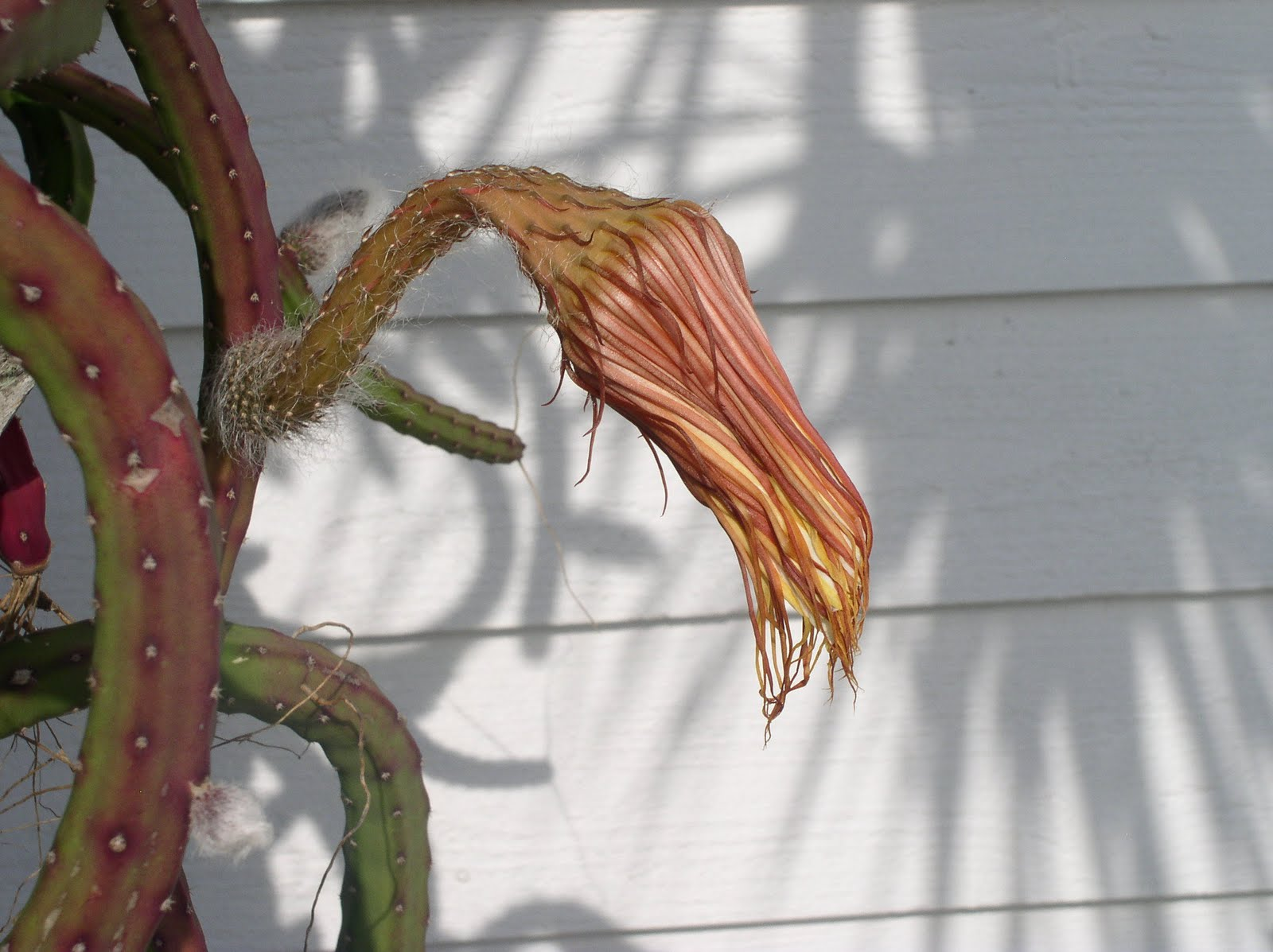 Florida Flowers and Gardens: Night Blooming Cereus