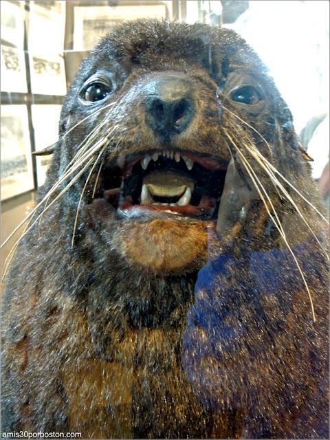 """Lobo Marino """"Old Neptune"""" en el New Bedford Whaling Museum"""