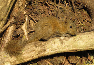 Callosciurus pygerythrus, Hoary-bellied Squirrel
