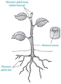 Jenis jaringan maristem berdasarkan letaknya