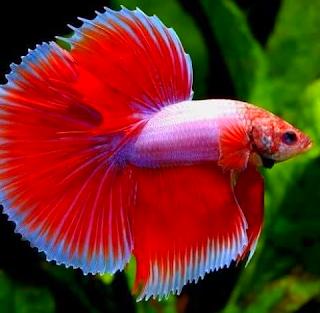 Gambar ikan cupang hias jenis lapender red