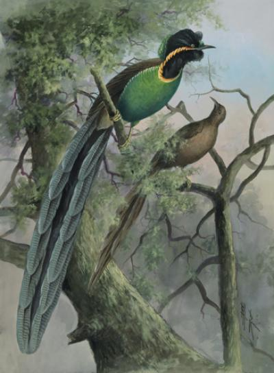 Birds-of-paradise genomes target sexual selection