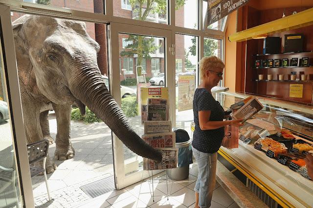 Мая, 40-летний слон, протягивает свой хобот в пекарню