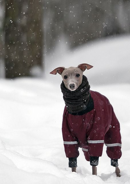 Beautiful winter scene with italian greyhound in sweater in snow