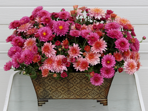 fall garden mums in arrangements sowing the seeds
