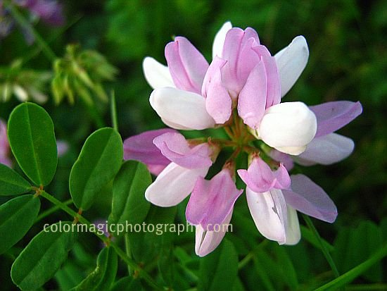 Purple Crown Vetch flower and leaves