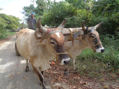 You can find anything on the road in Central America. Oxen pulling a load. No plans for a wrestling match here.