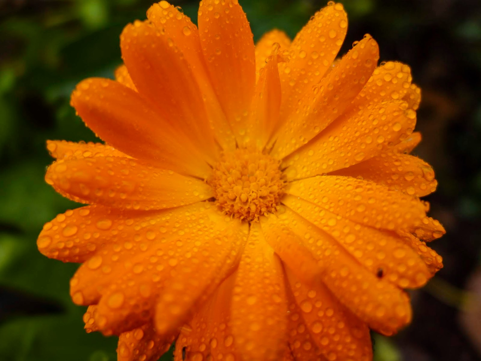 Raindrops on an orange Calendula flower.