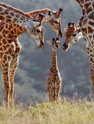 fotografia del reino animal jirafas