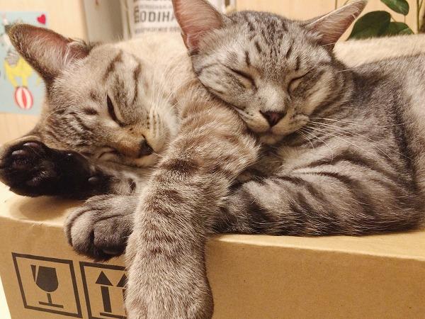 くっついて寝てるサバトラ猫とシャムトラ猫
