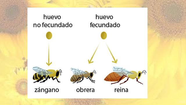 abejas clasificacion