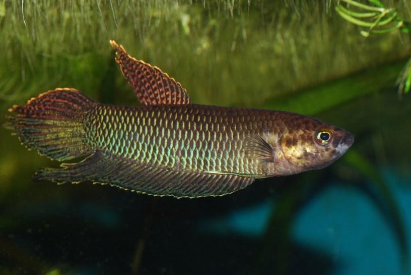 Dzargon. Ikan petarung atau yang lebih dikenal dengan nama ikan cupang adalah ikan dengan daya tahan hidup yang sangat tinggi. Ikan Cupang mampu hidup dalam keadaan air rendah oksigen karena ikan ini beradaptasi dengan mengambil oksigen di udara. Sebagai salah satu contoh daya tahan ini, bisa tetap hidup di dalam kantong plastik pada saat dikirim selama 4 sampai 5 hari, meskipun hal ini bukan jaminan untuk memperlakukan ikan ini buruk tetap dibutuhkan perawatan yang khusus agar ikan ini tumbuh sehat dan baik betta Pugnax