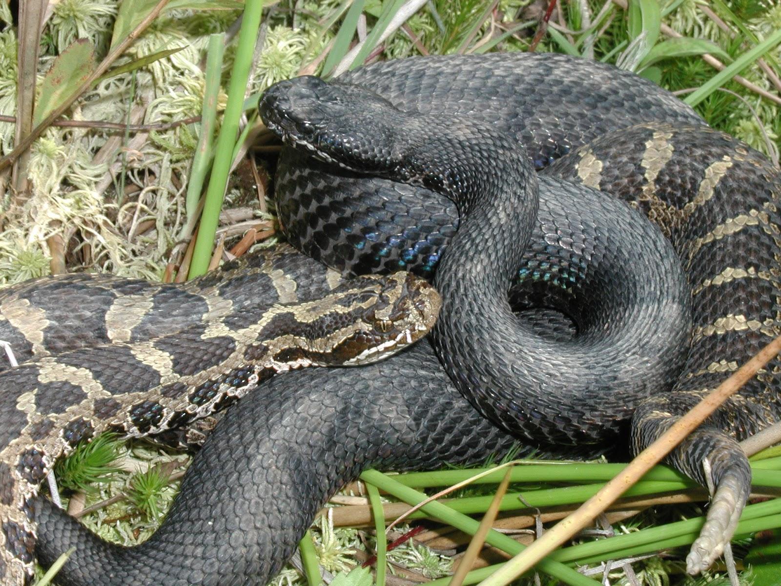 Alabama black snake 5 - 5 5
