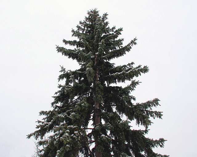 Sturdy pine in the snow