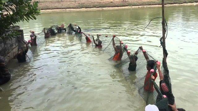 Budidaya Ikan Jelawat - Pendederan