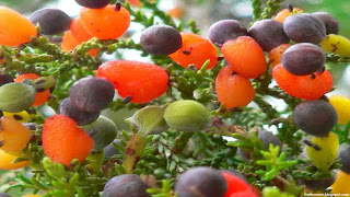 Kahikatea fruit images wallpaper