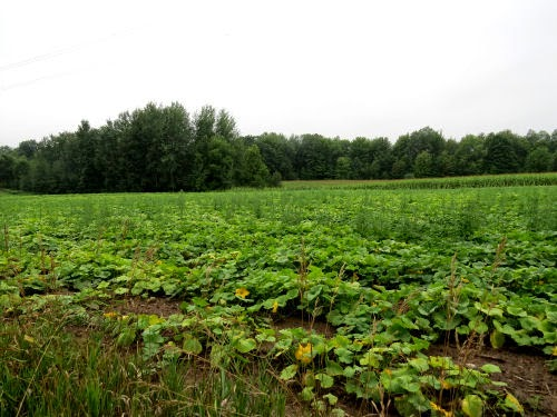 butternut squash field