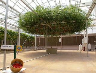 شجرة الاخطبوط تنتج طماطم