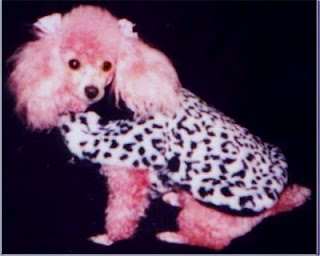Chloe the Poodle