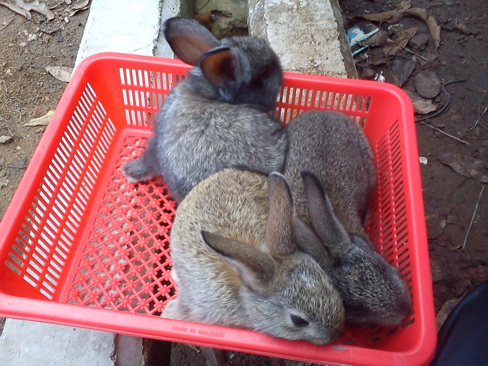 Jenis Jenis Kelinci Hias dan Peliharaan
