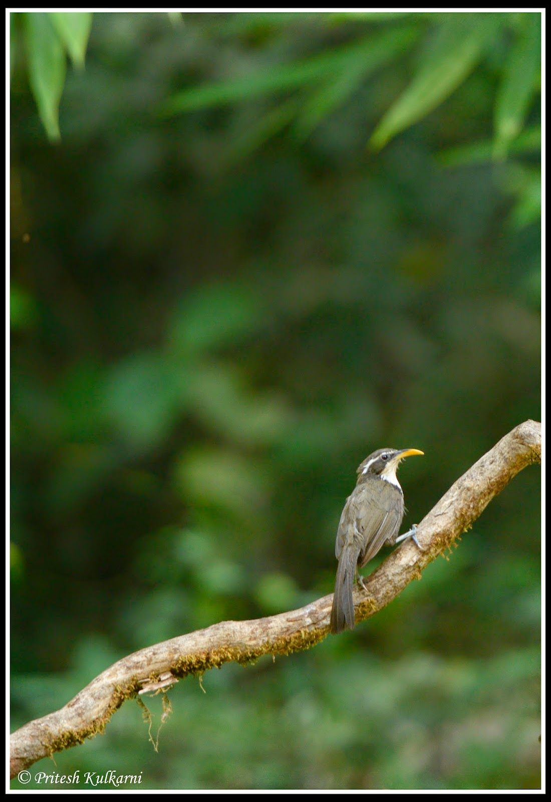 Indian Scimitar Babbler