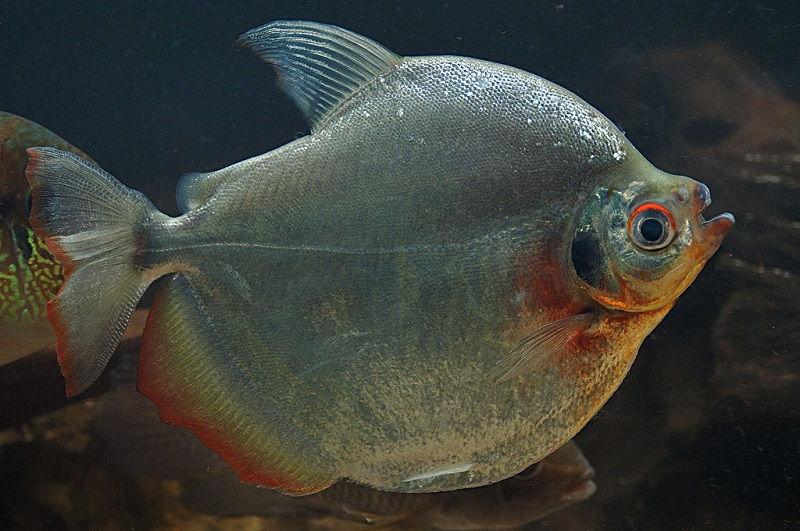 Gambar Jenis Ikan Silver Dollar Mylossoma duriventre