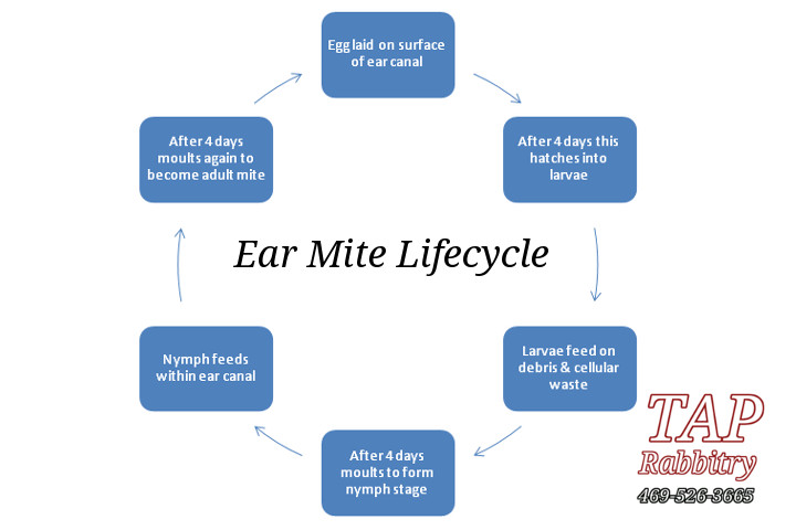 TAP Homestead And Rabbitry, Canton, TX (469)-526-3665: Ear Mites