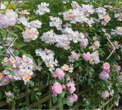 hoa hồng leo đẹp nhất