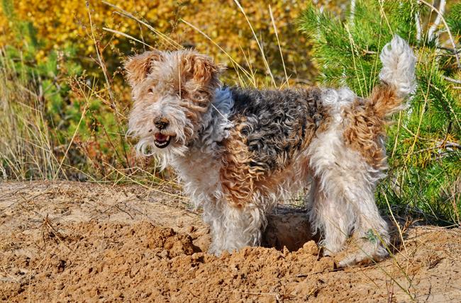 Koprofagia, czyli zjadanie odchodów przez psa