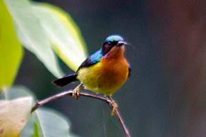 gambar kolibri wulung
