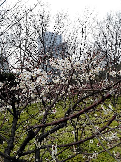 上海の公園に咲いた梅の花2