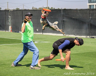 Vader on the San Jose Earthquakes practice field, playing with some of the players
