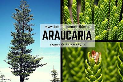 Araucaria heterophylla conocida como Araucaria Excelsa
