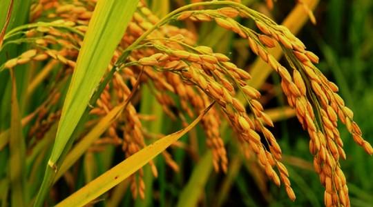 ejawantah wanita dalam sebutir nasi