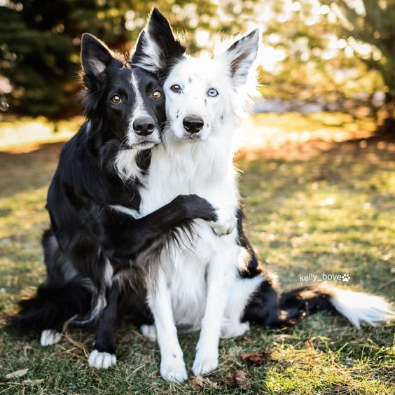 Border Collie The Smartest Dog Breed In The World The Pets Dialogue