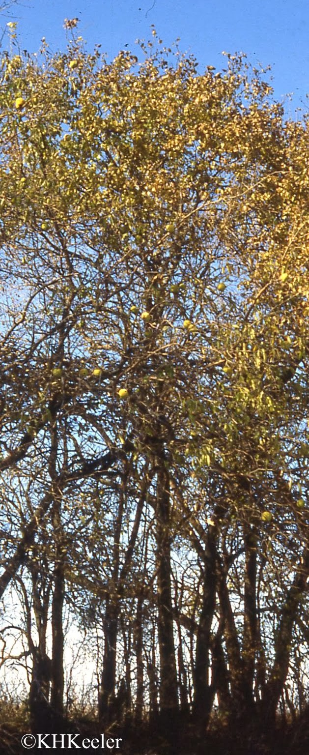 Osage-orange in hedge row
