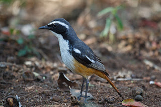 Suara burung white throated robin chat