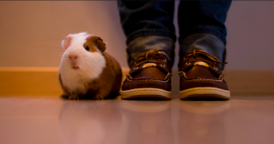 guinea pig standing next to owner