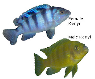Lake Malawi African Cichlids, female and male Kenyi, photo courtesy Eve