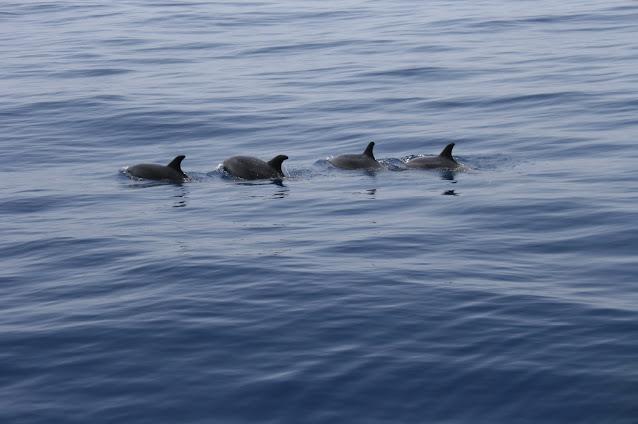 Großer Tümmler - Tursiops truncatus © Canarian Sea 03